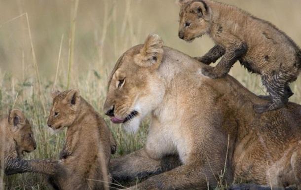 В Кении умер третий отравленный лев из  телепрайда