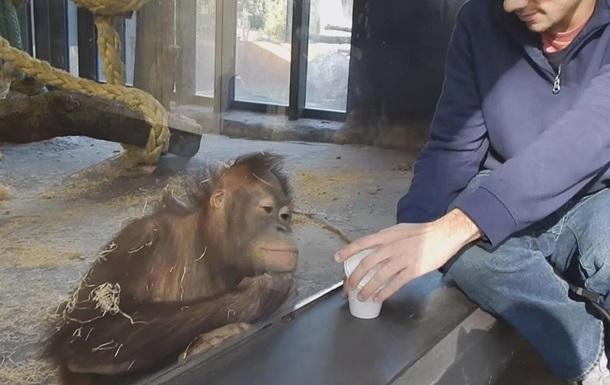 орангутан смотрит фокус