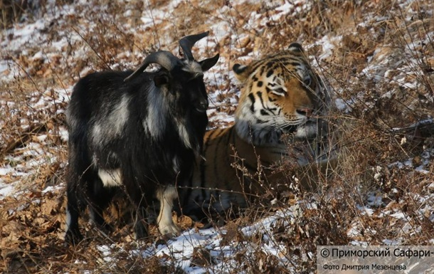 О дружбе козлика Тимура и тигра Амура расскажут в документальном фильме об амурских тиграх