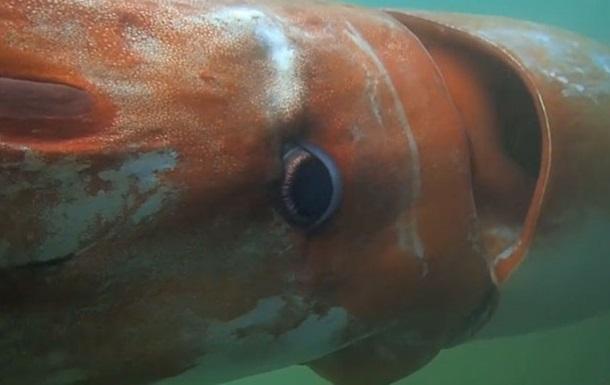 Человек впервые встретил гигантского кальмара