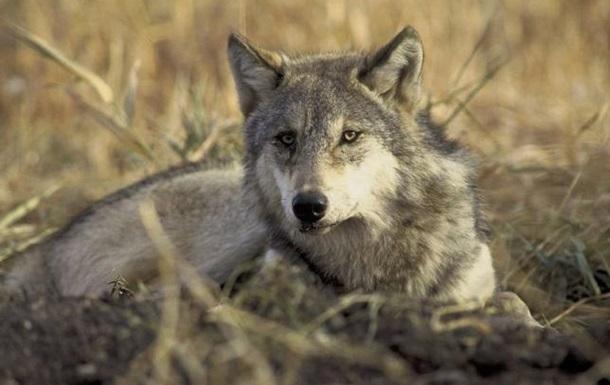 В Швеции началась охота на волков