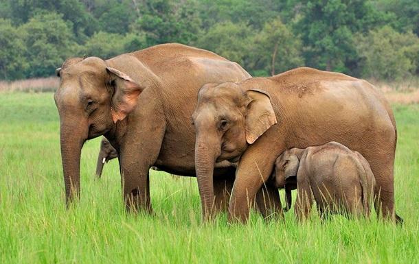 В Камбодже сняли группу редчайших слонов