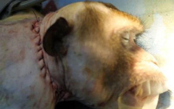 Нейрохирурги пересадили голову обезьяне
