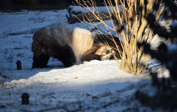 Панда пришла в восторг от снега. Хит сети