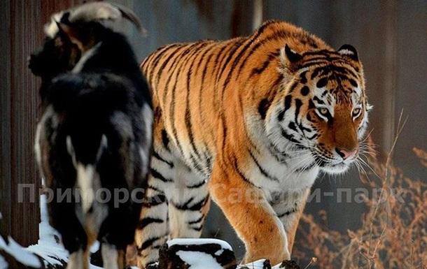 Тигр Амур напав на козла Тимура