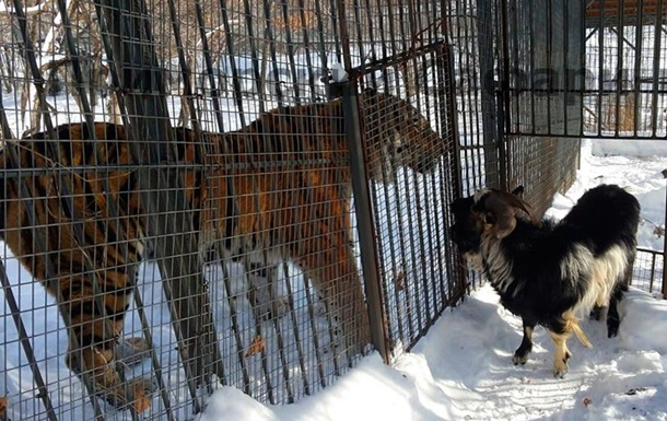 Козла Тимура переселили ближе к тигру Амуру