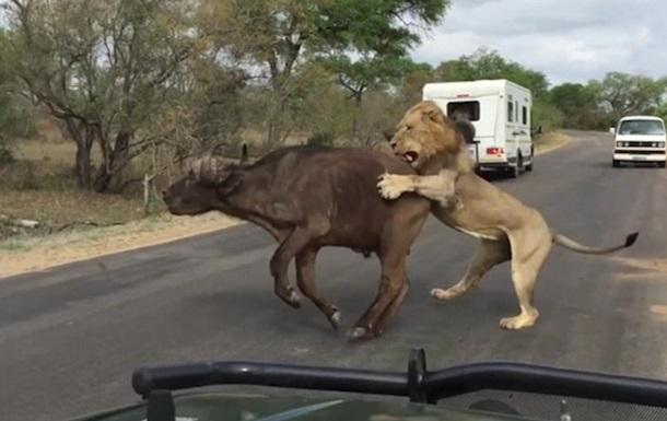 Лев напал на буйвола в нескольких шагах от туристов