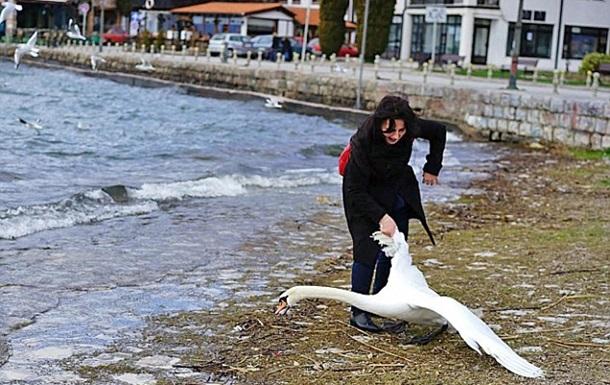 В Македонии туристка замучила лебедя ради фото