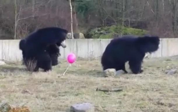 Видеохит. Медведи играют с воздушным шариком