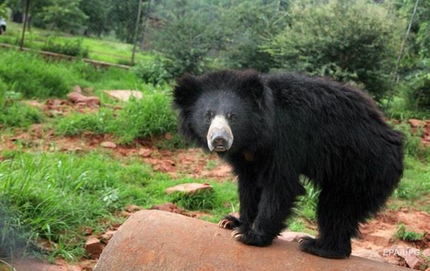 В Индии устроили облаву на медведя, растерзавшего трех человек