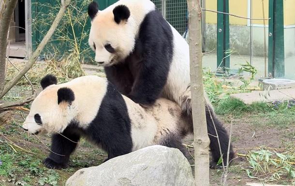 Редкое видео: спаривание панд в зоопарке Вены
