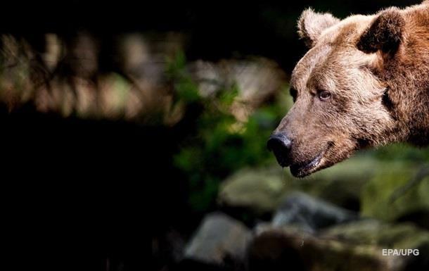 В Карпатах медведь напал на мужчин, искавших оленьи рога