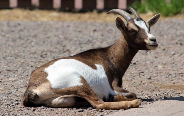 В Японии появилась аренда живых коз