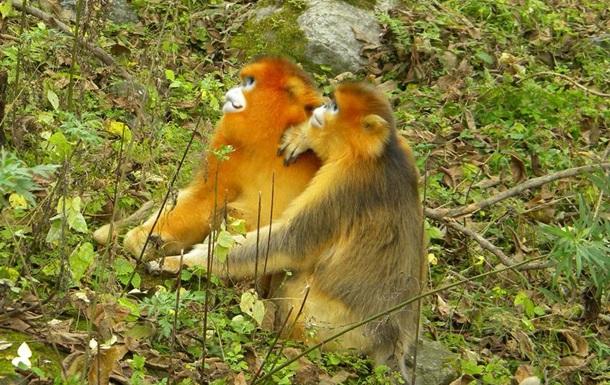 У обезьян есть собственные  акушерки  – ученые