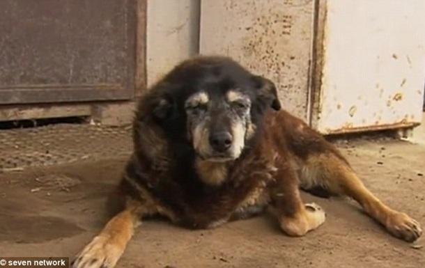 В Австралии умерла  самая старая собака в мире