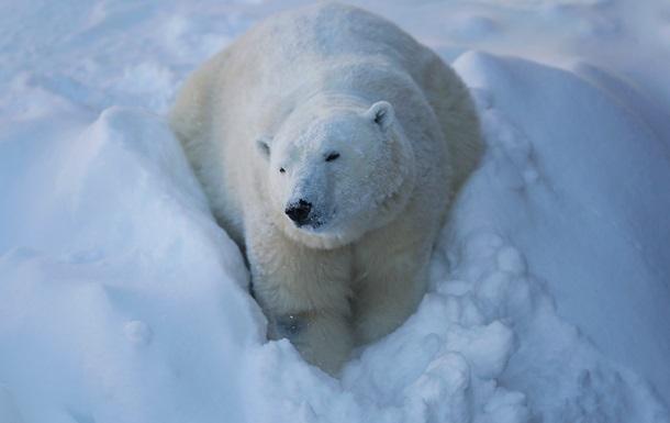 Потепление заставляет белых медведей плавать много дней без отдыха