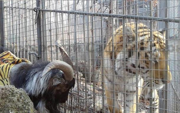 Тигра Амура и козла Тимура разлучат навсегда