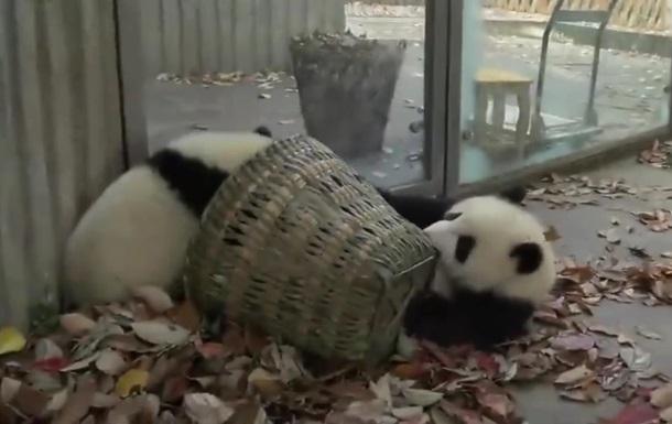 Маленькие  панды-хулиганы  стали хитом Интернета