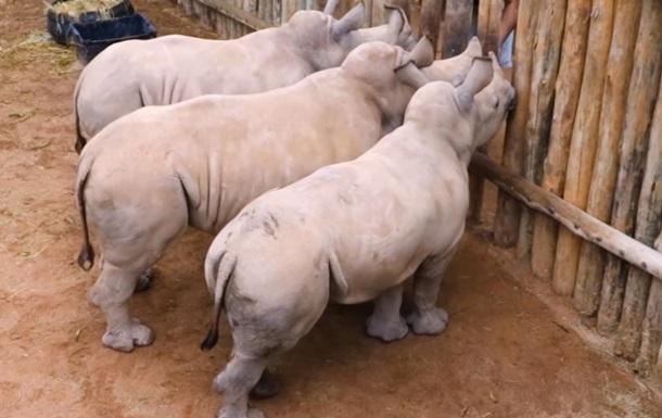 Плач детенышей носорогов растрогал сеть