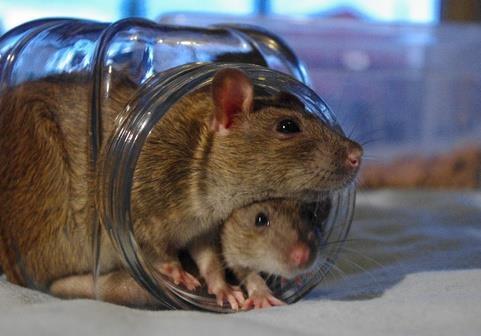 Крысы в банках