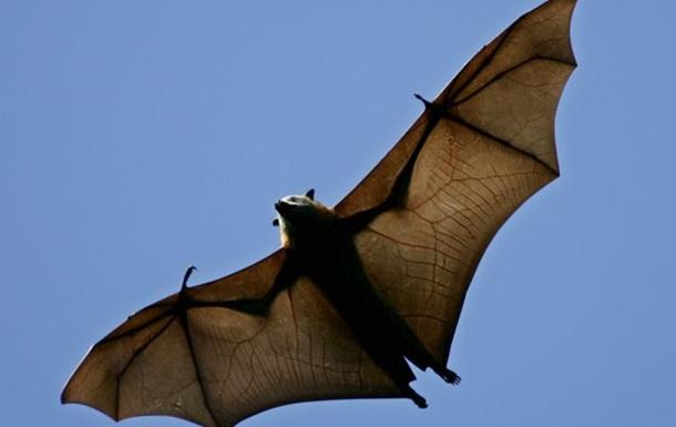 В Австралії оголосили надзвичайний стан через летючих лисиць