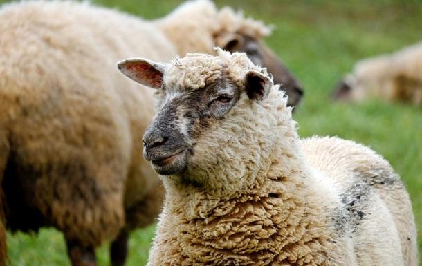 Вівці під марихуаною влаштували безчинства у Великобританії