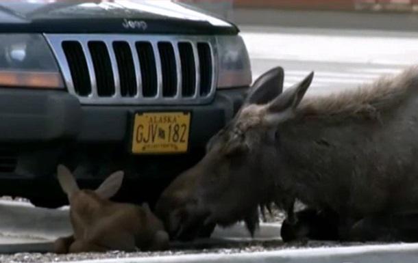 На Аляске лосенок родился на парковке у магазина