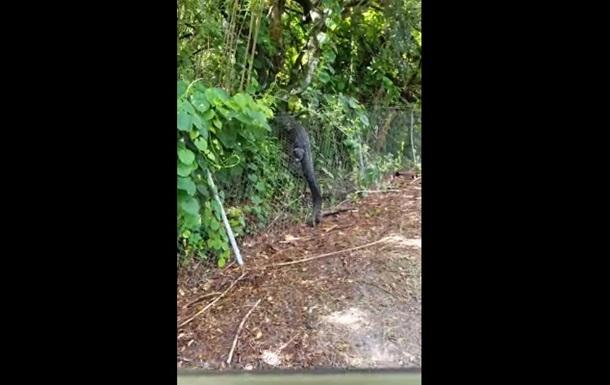 Удирающего через забор аллигатора сняли на видео