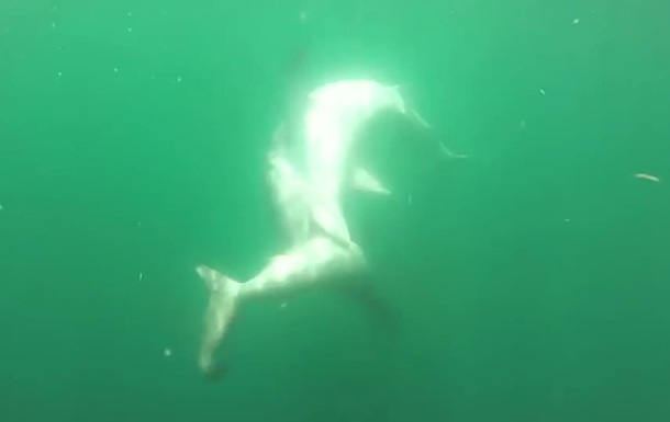 В США сняли драку тигровой акулы и акулы-молота