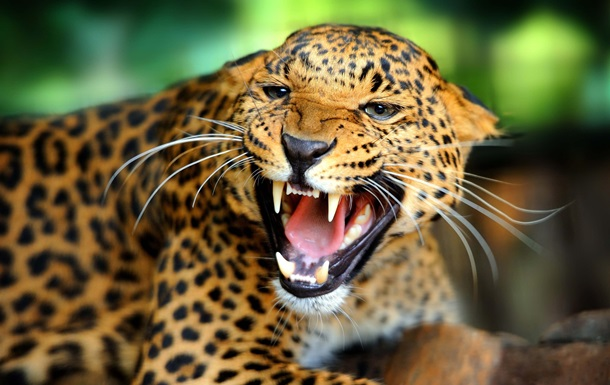 Леопард напал на жителей индийской деревни