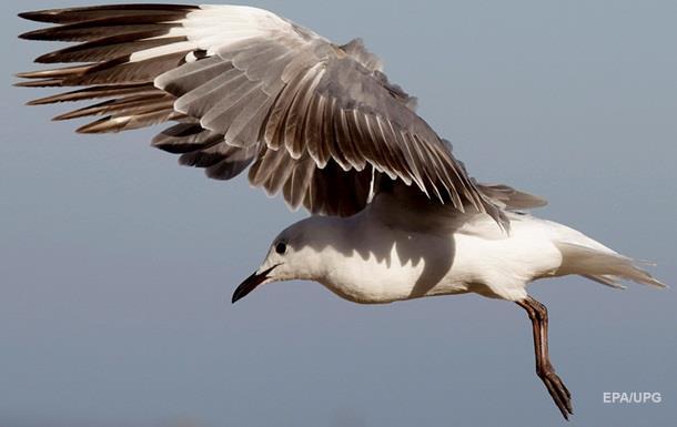 В Британии эвакуировали супермаркет из-за агрессивной чайки