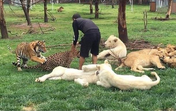 Тигр спас зоолога от ягуара