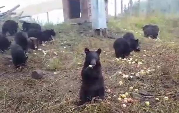 Поедающие яблоки медведи умилили сеть