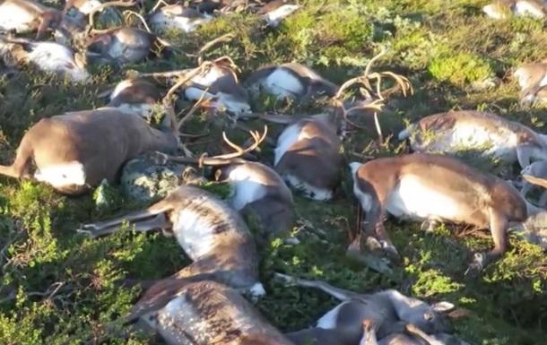 В Норвегии триста оленей погибли от удара одной молнии