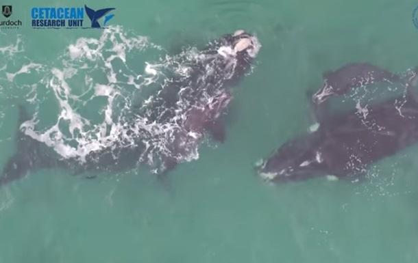 Ученые показали редкие кадры с белыми китами