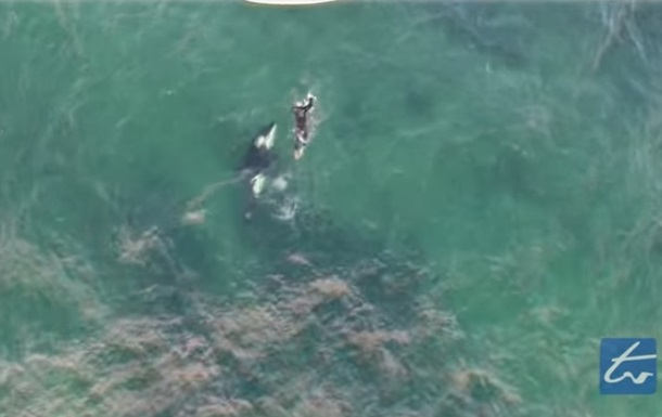 Новозеландский смельчак поплавал с китом-убийцей
