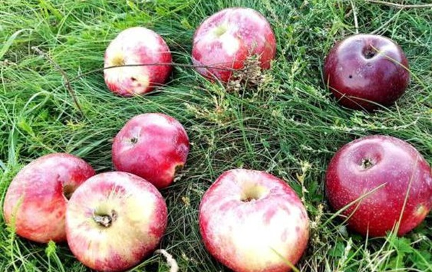 Яблука з Довженкового саду