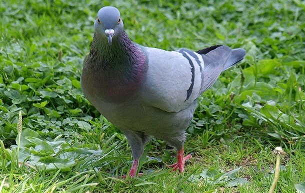 Впервые доказана способность голубей читать слова