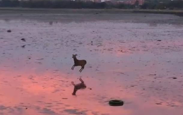 Видео с прыгающим оленем стало хитом сети