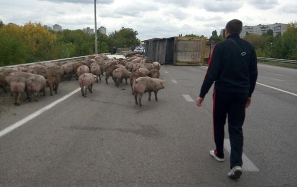 Под Харьковом перевернулась фура со свиньями