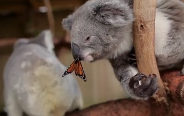 Бабочка  испортила  коале фотосъемку. Хит сети