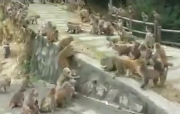 Массовую потасовку обезьян сняли на видео