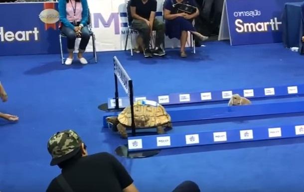 В Таиланде черепаха выиграла забег у кролика