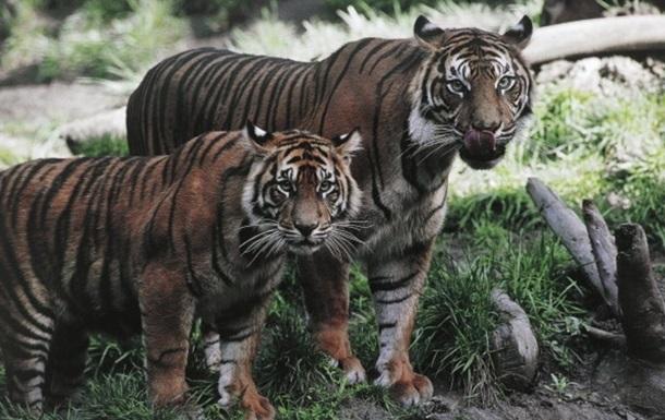На улицах Владивостока ищут тигра