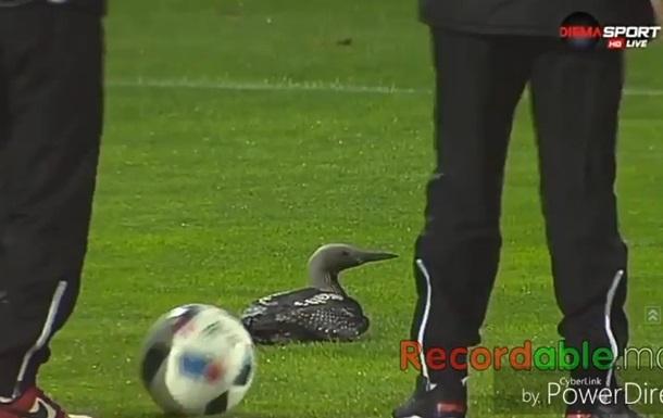 Утка на поле прервала футбольный матч
