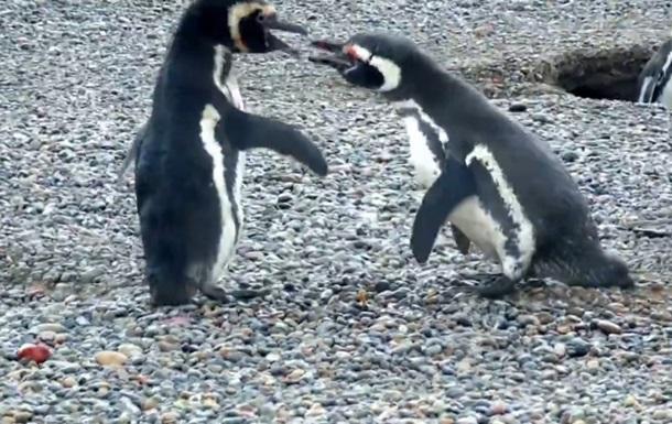 Кровавая драка пингвинов за самку удивила Сеть