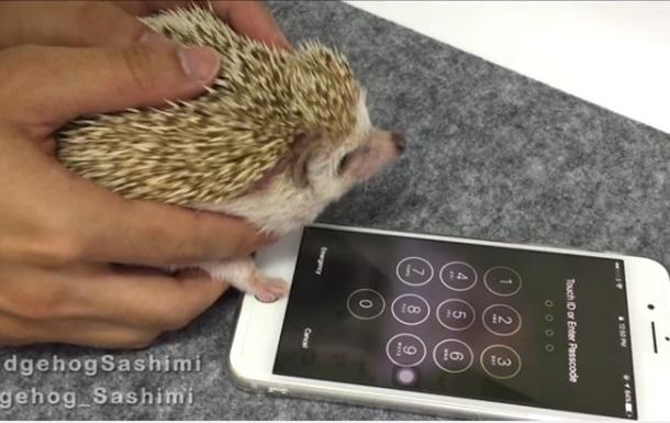 Разблокировавший iPhone ёж умилил Сеть