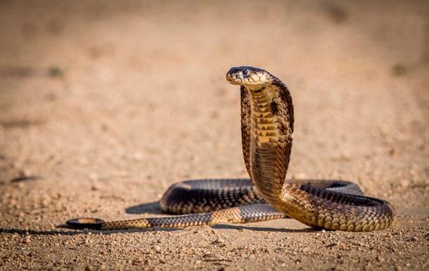 В Африке в унитазе поселилась огромная кобра
