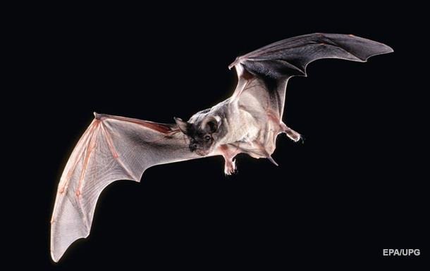 Биологи расшифровали язык летучих мышей