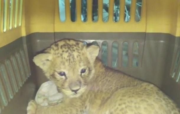 Пограничники пресекли попытку незаконного вывоза львенка